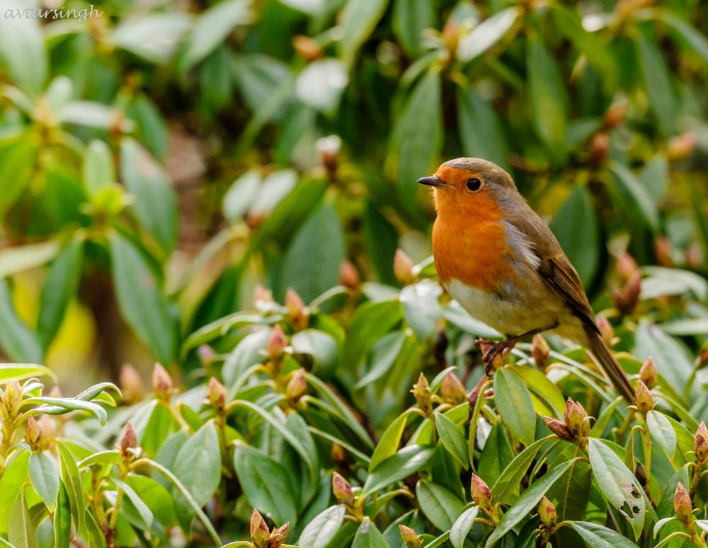 Photo in Animal #bird #rouge gorge/europian robin #lush green bush #claw #resting #beautiful portrait #flower buds #animal #nature