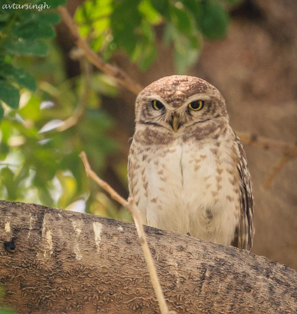Photo in Animal #spotted owlet #bird #tree #resting on a branch #animal #nature