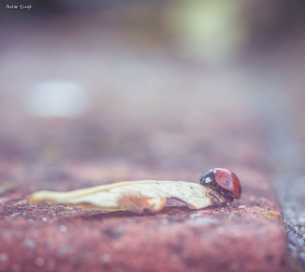 Photo in Macro #ladybug #insect #anmal #leaf #climbing on a leaf #nature #macro #colors