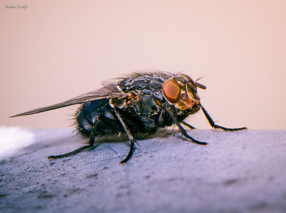 Photo in Macro #fly #mouche #insect #animal #macro #nature