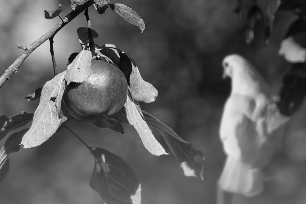 Photo in Random #apple white pigeon eden bw