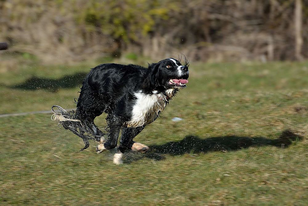 Photo in Animal #dog #wet #running #action #movement #bexhill #pet #grass