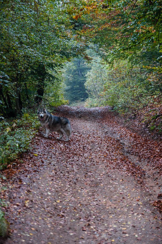 Photo in Nature #fall #dog #malamute #wild