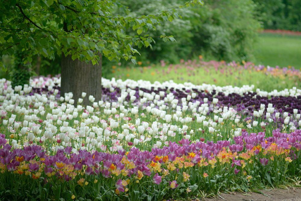 Photo in Nature #tree #flowers #tulips #garden