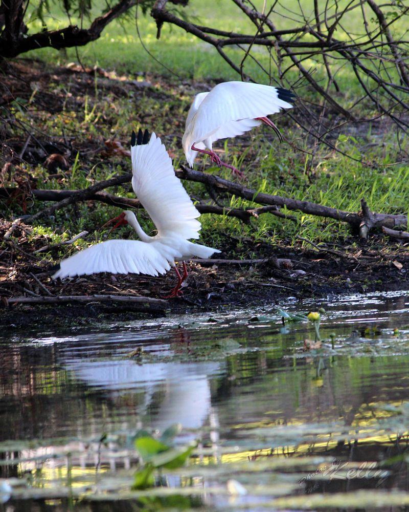 Photo in Nature #ibis #bird #river #hillsborough #florida #nature