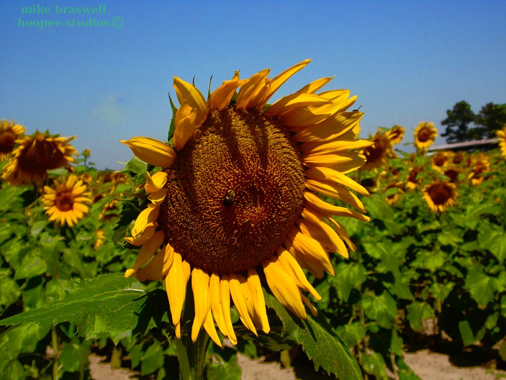 Photo in Nature #sun flower #floral #flower