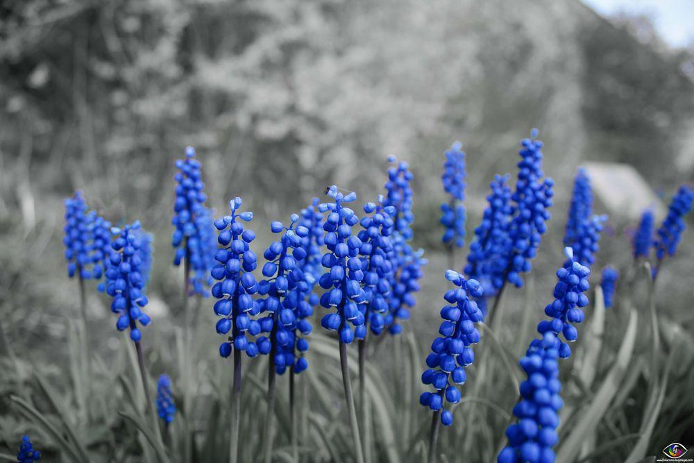 Photo in Nature #muscari neglectum #flower #nature #splash #colour #color #flowers #park