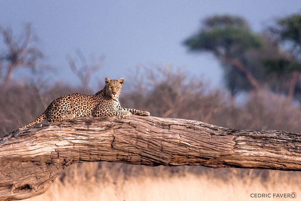 Photo in Animal #leopard #mammal #outdoor #carnivore #big5 #predator #cat #bigcat #africa #panthera_pardus