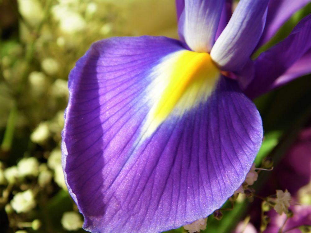 Photo in Macro #iris #blue #yellow