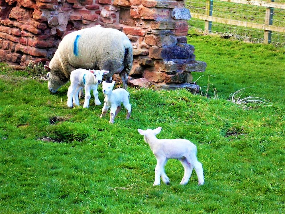 Photo in Animal #sheep #lambs #field #farm #old abbey wall #spring