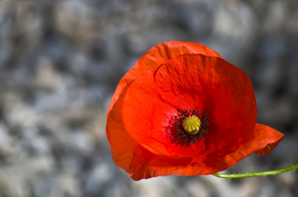 Photo in Nature #flower #poppy