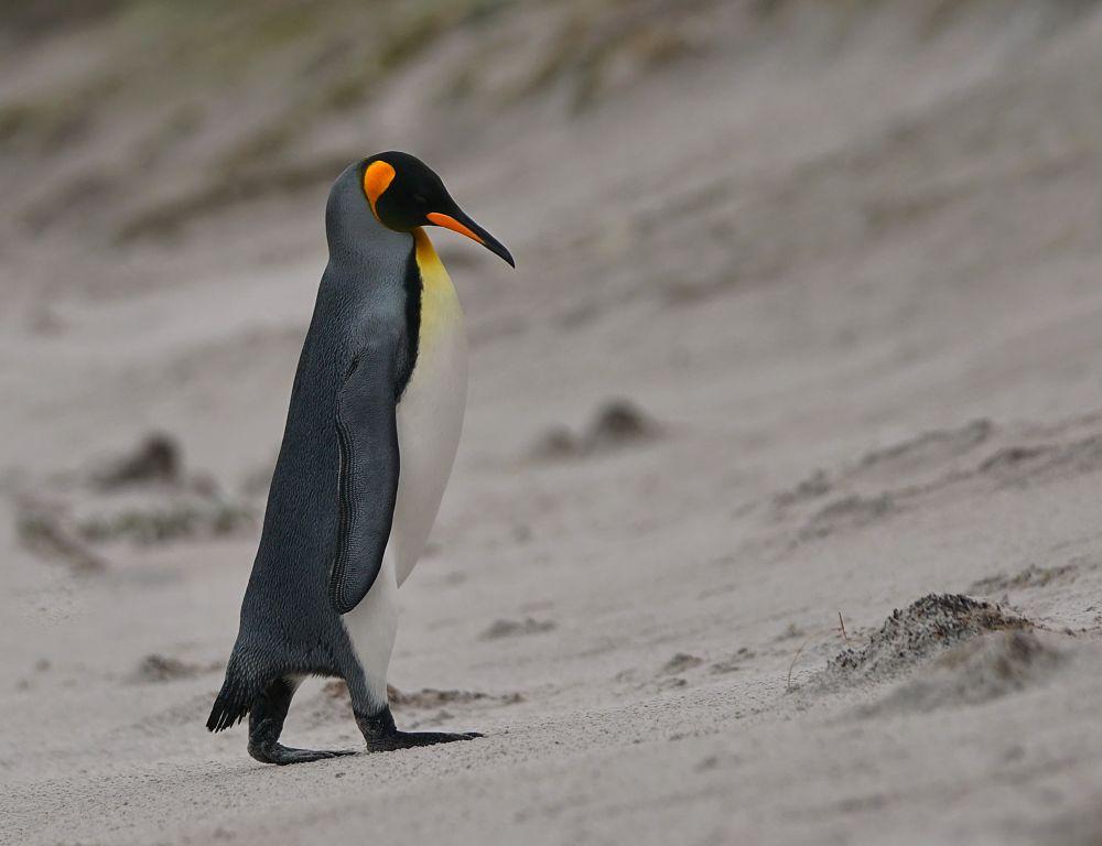 Photo in Travel #falkland islands #penguine #animals