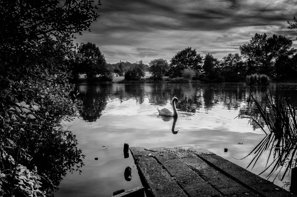 Photo in Black and White #swan #lake #black and white #reflections #water