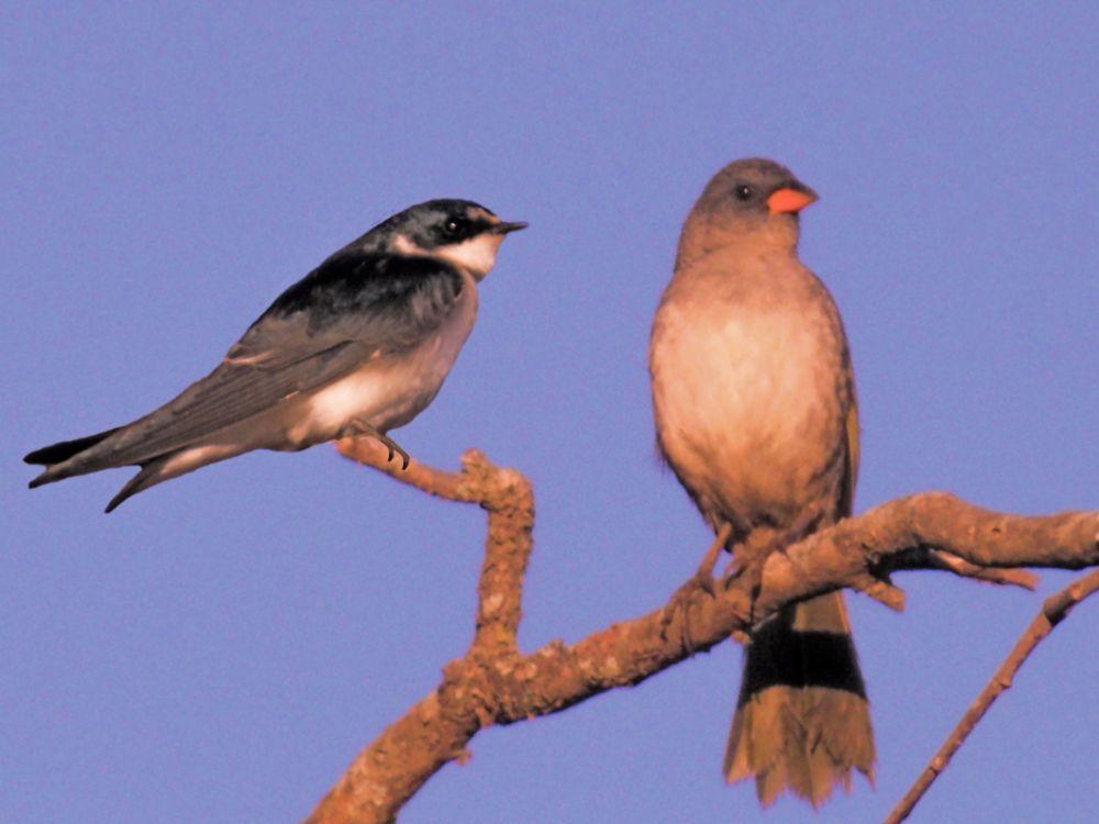 Photo in Animal #aves #aves de belo canto #aves do brasil