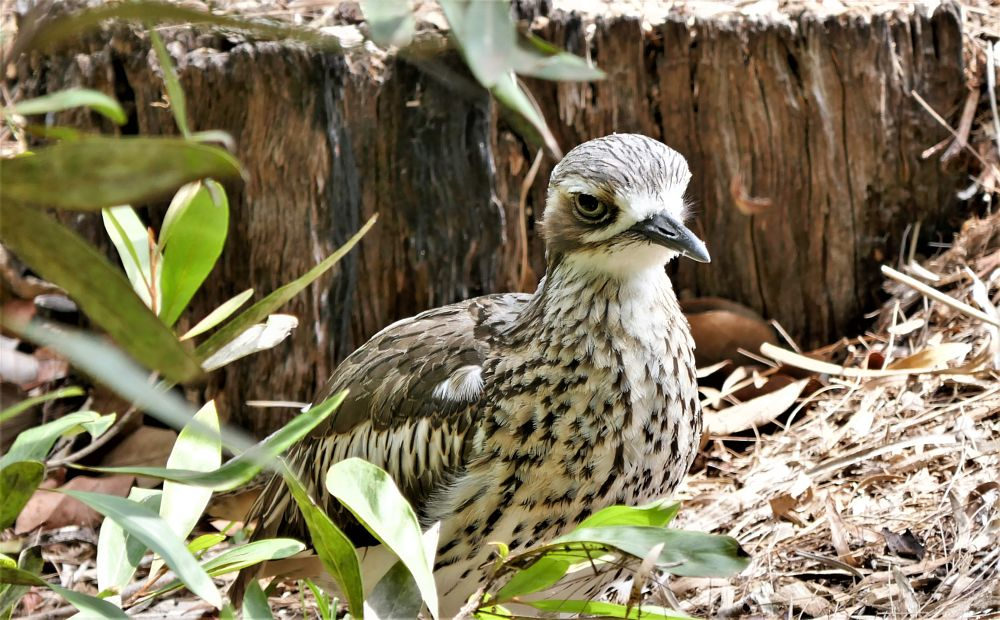 Photo in Random #bird #curlew #bush #beauty #nature #resting #large eyes #foliage #feathers #grey #lovely