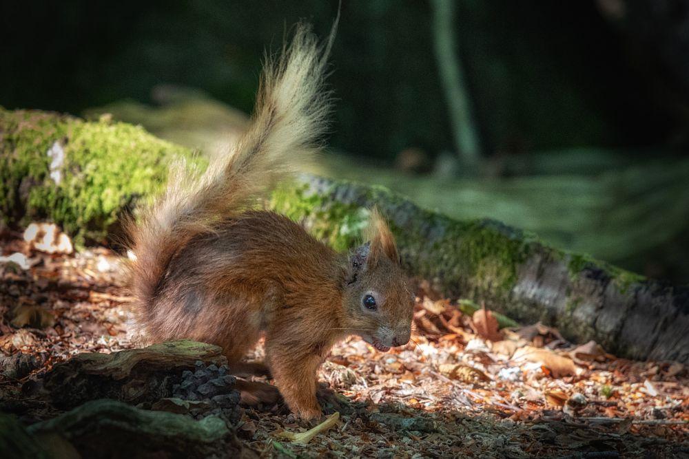Photo in Animal #nic drew photography #brownsea island #squirrel
