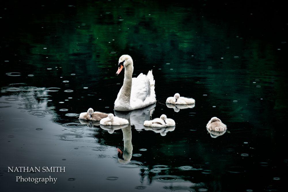 Photo in Animal #baby #swan #animal #cute #germany