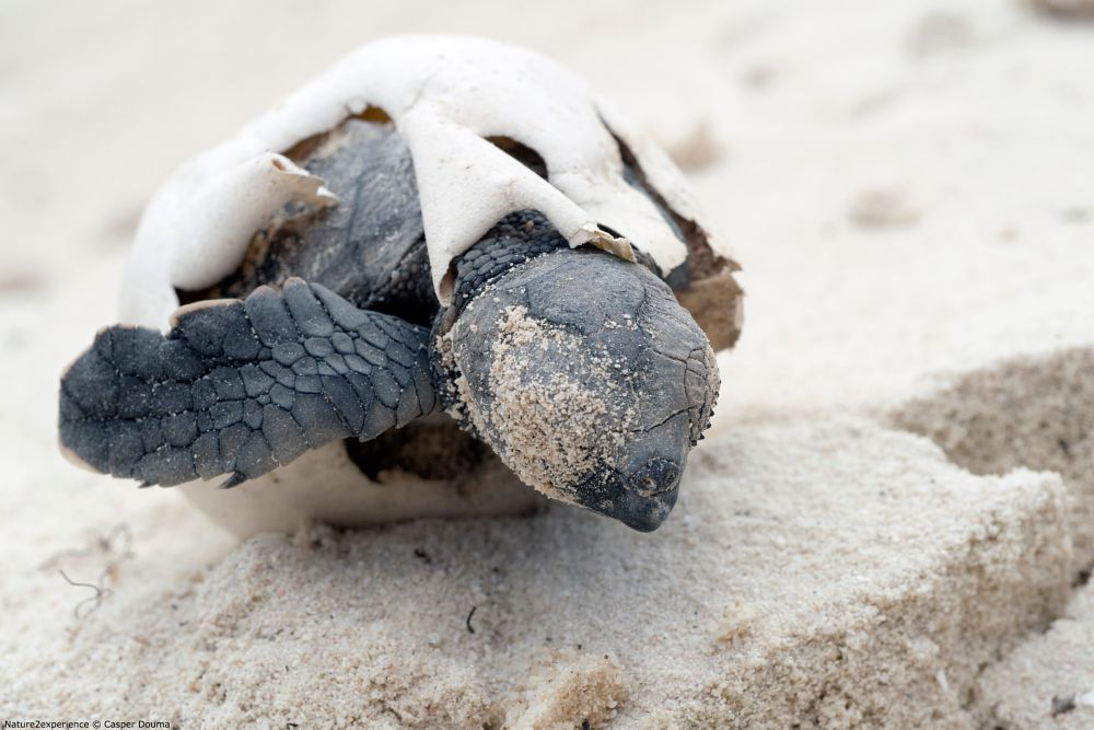 Photo in Animal #turtle #survive #nature #hatchling