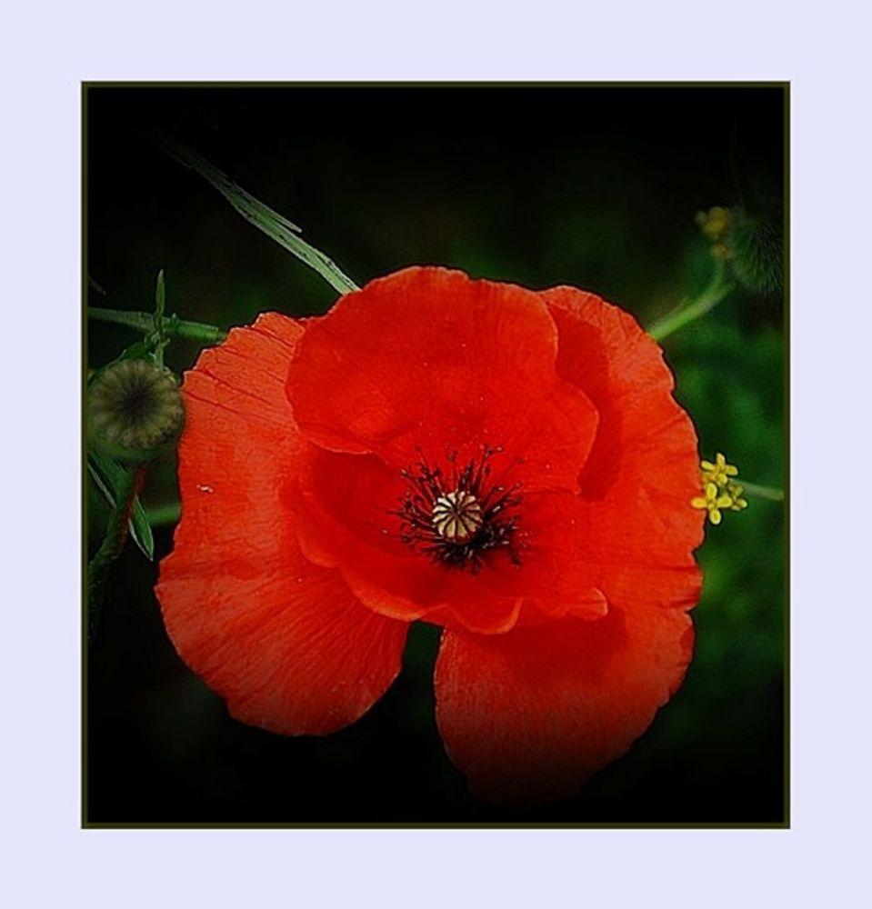 Photo in Macro #çiçek #gelincik #bartın