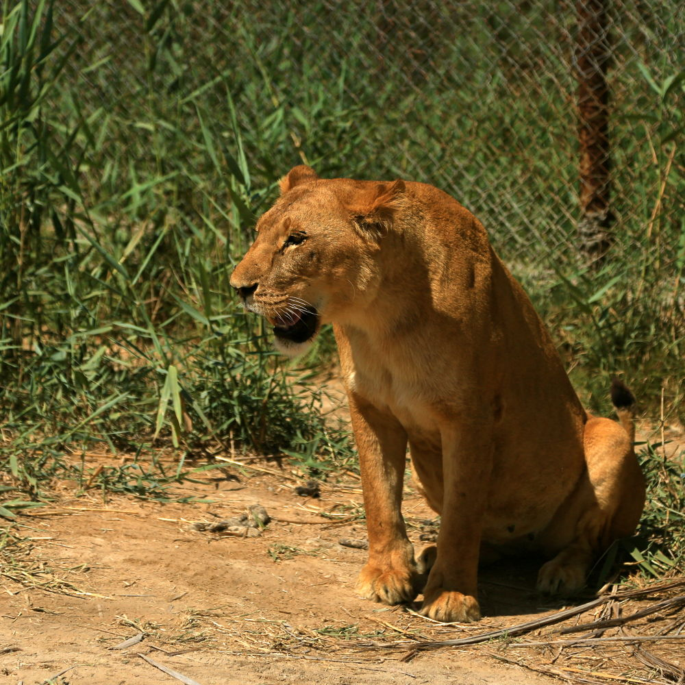 Photo in Animal #lioness