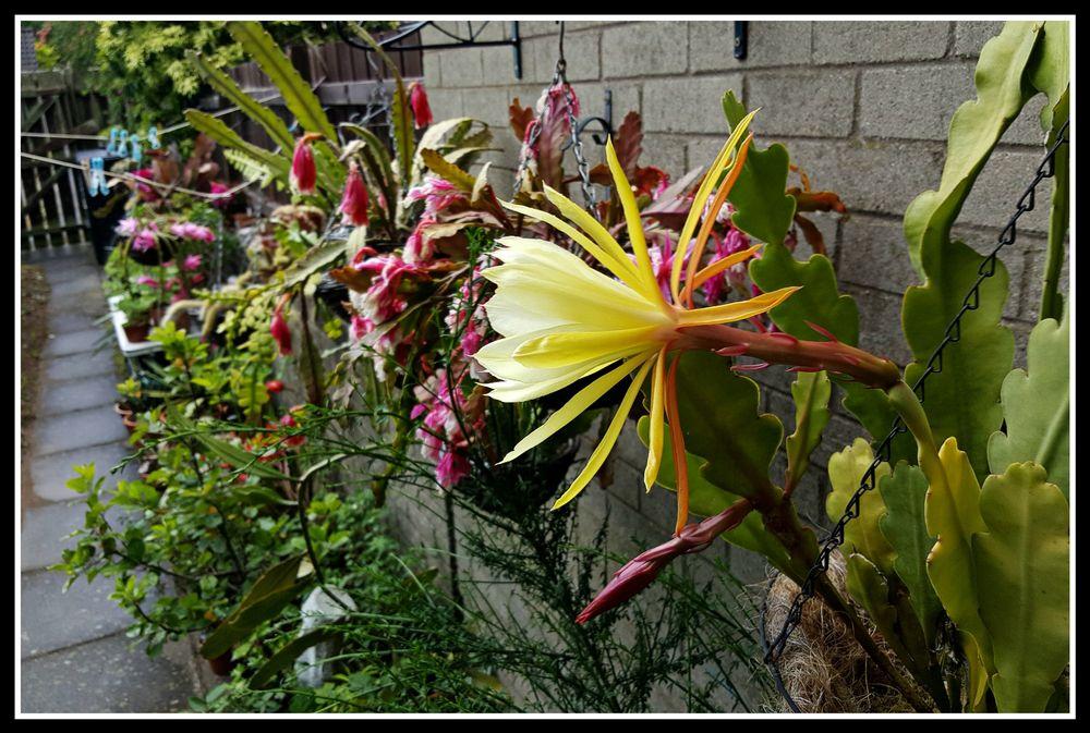 "Epiphyllum crenatum ""Chichicastenango"""