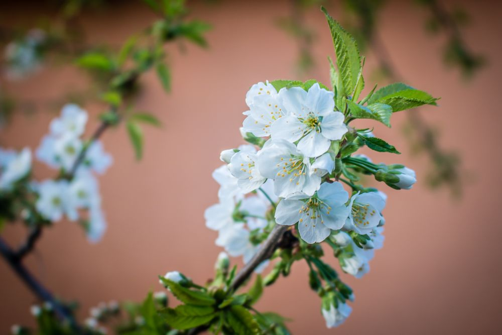 Photo in Nature #cherry #blossom #flowers #nature #tree #green #white #orenge