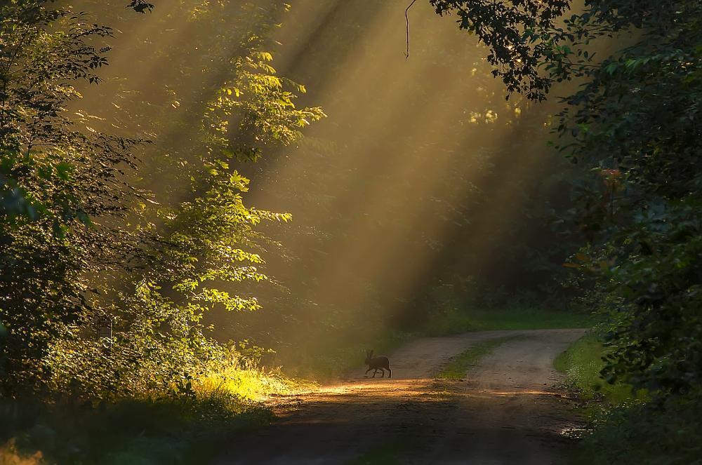 Photo in Landscape #rabbit #sunrays #forest #maasduinen #landscape #theo hermsen