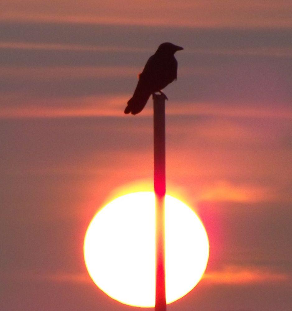 Photo in Random #sunrise. #crow