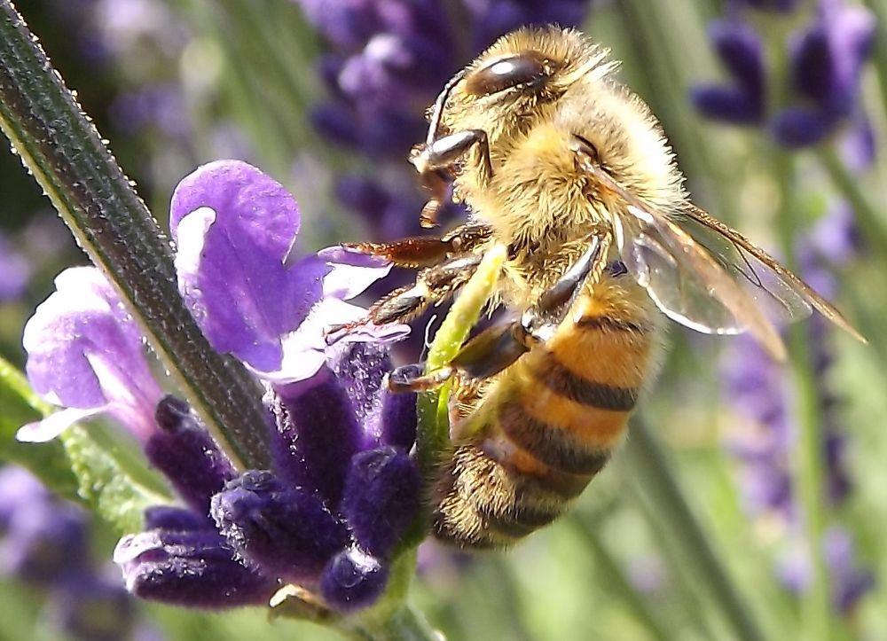 Photo in Nature #bee #lavender #macro #nature