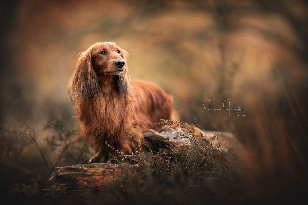 Photo in Animal #dachshund #dog #pet #animal #portrait #nature #outdoor #dof