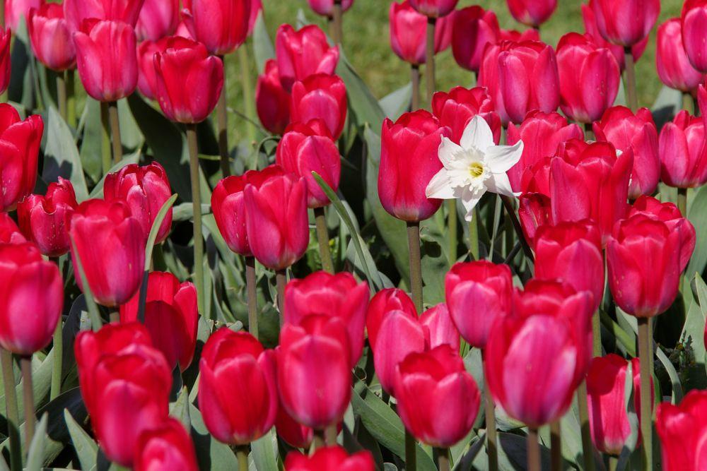 Photo in Nature #floralie #floralia #grand #bigard #belgique #belgium #tulipe rouge #blanc