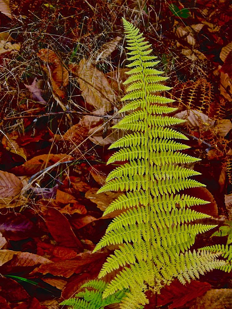 Photo in Nature #fern #forest #vermont #stowe #foliage