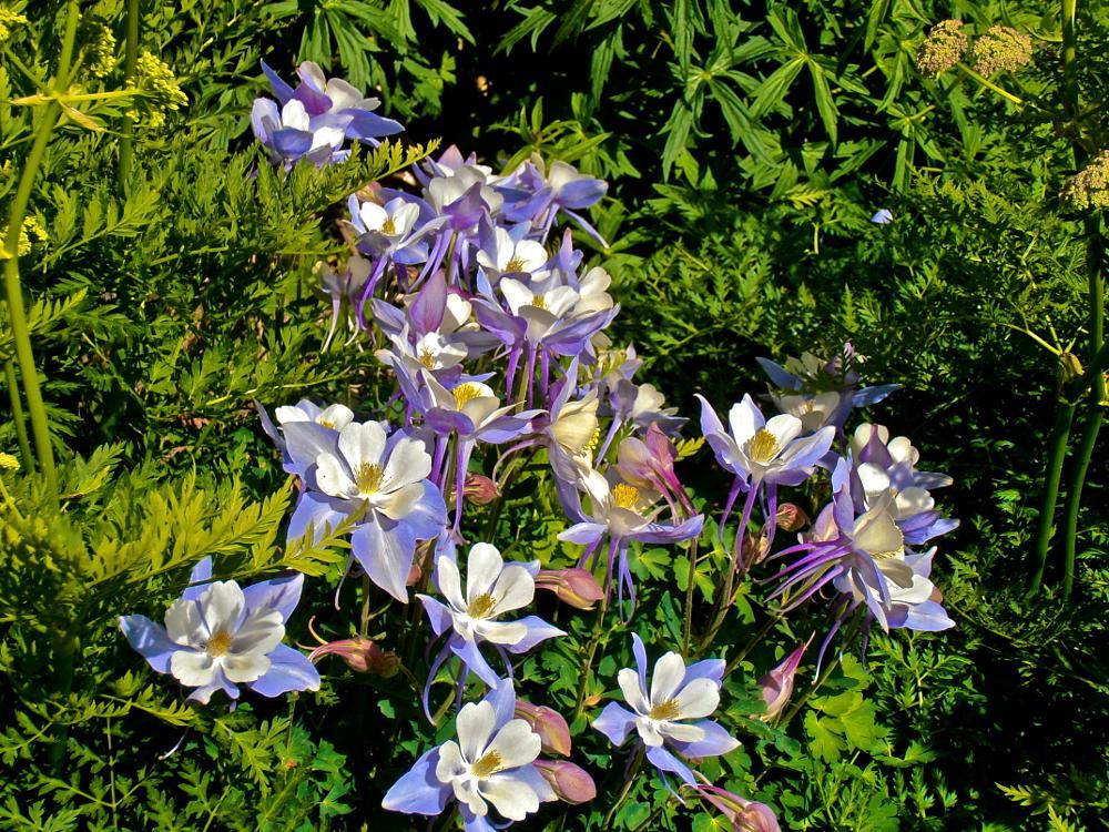 Photo in Nature #rocky mountain columbine #wildflowers #colorado #mount sneffels