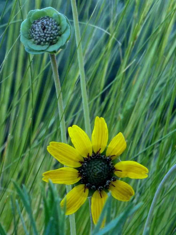 Photo in Macro #chocolate flower #threadgrass #garden #albuquerque