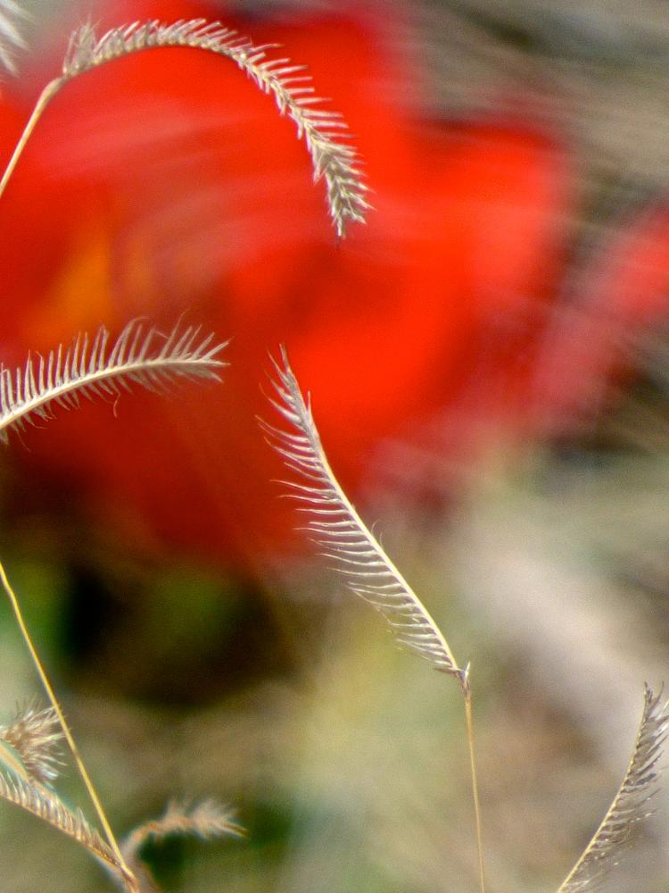 Photo in Nature #bokeh #detail #blue grama #tulips #red