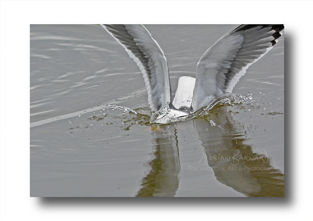 Photo in Nature #herring gull #water #bird