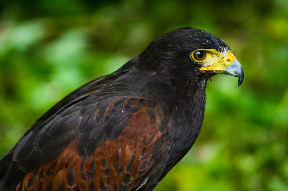 Photo in Animal #bird #raptor #hawk