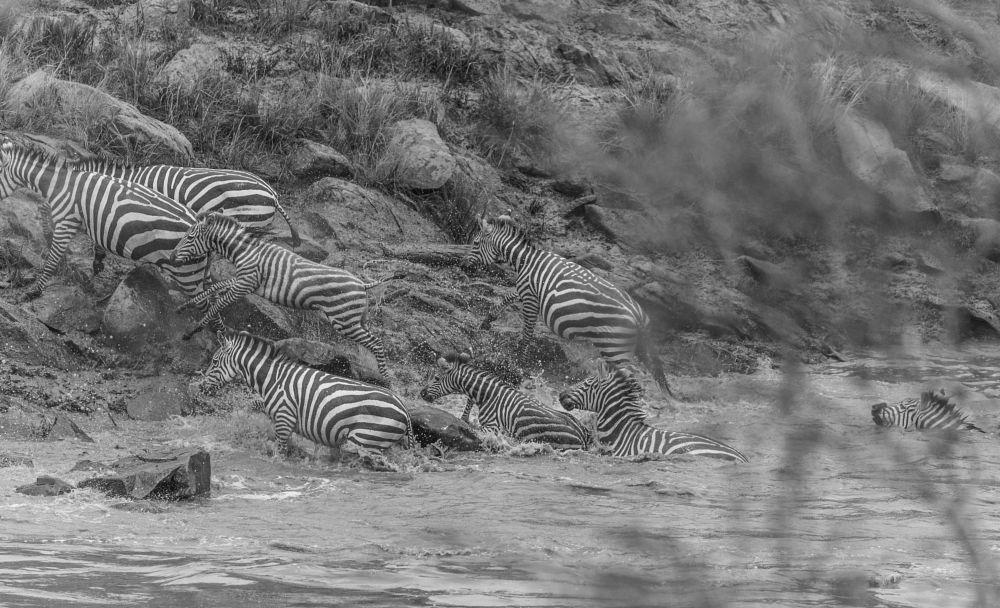 Photo in Animal #migration #masai mara #zebra #crossing