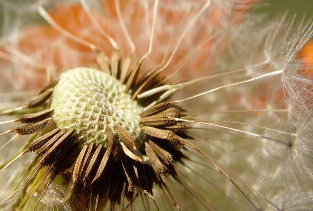 Photo in Macro #dandelion #seed #chutes #macro #closeup #nature