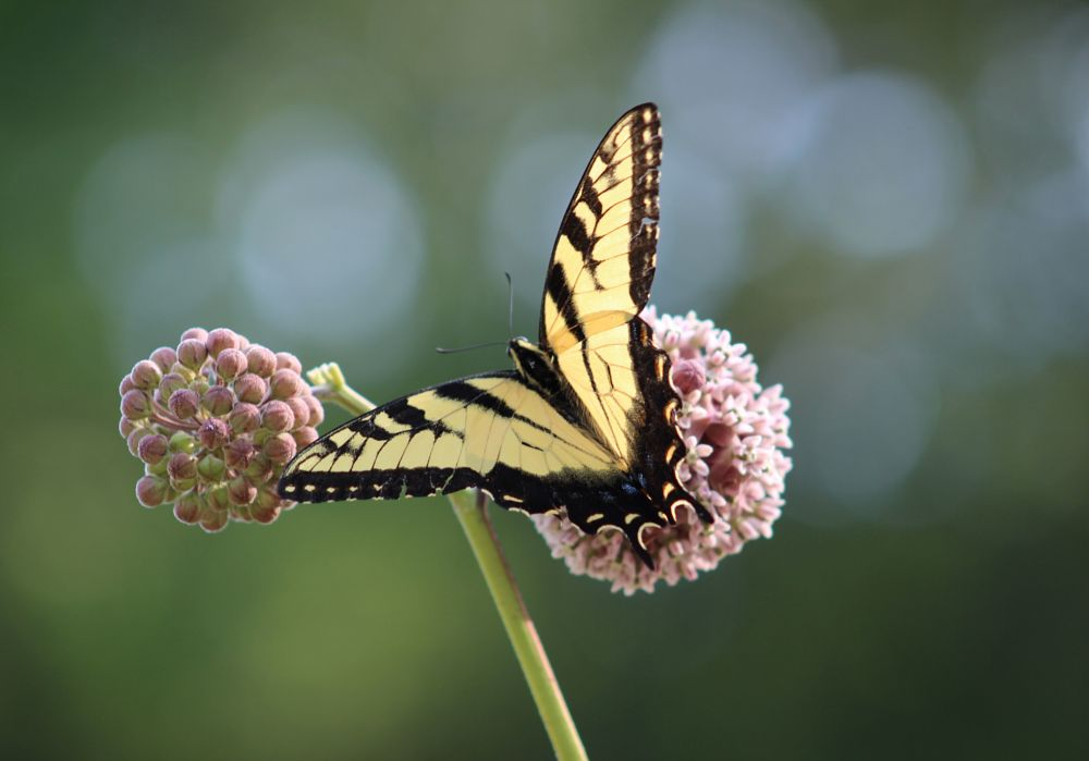 Photo in Nature #eastern tiger swallowtail #butterfly #flower #milkweed #nature