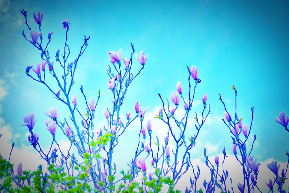 Photo in Nature #flower #sky #spring #magnolia