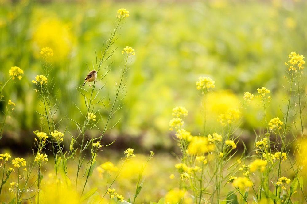 Photo in Nature #field #mustard #flowers #yellow #sparrow #bird #wild #wildlife #pakistan #rural #green #nature
