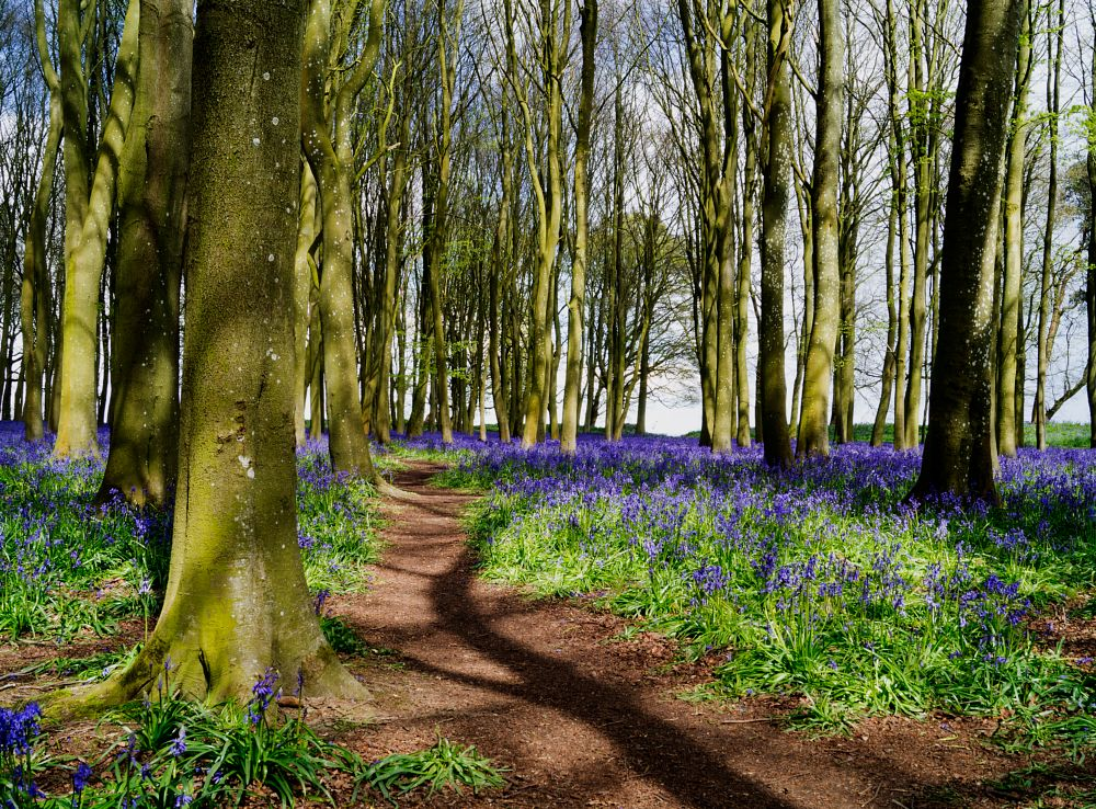 Photo in Nature #depth of field #woodland #bluebells #badbury clump #colours #spring