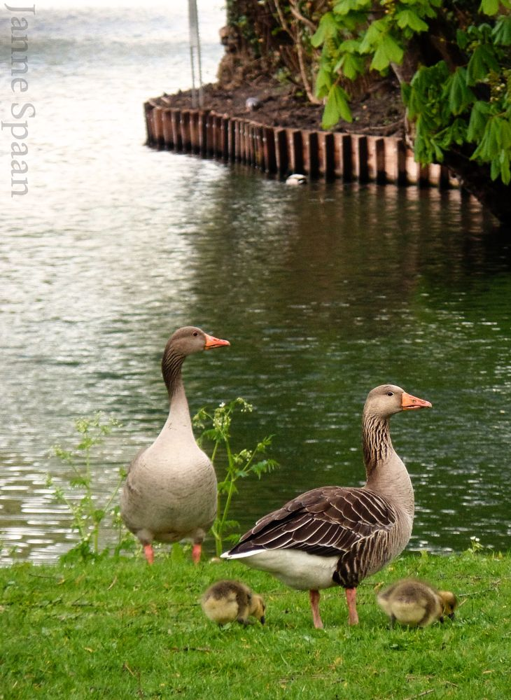 Photo in Animal #park #geese #proudparents