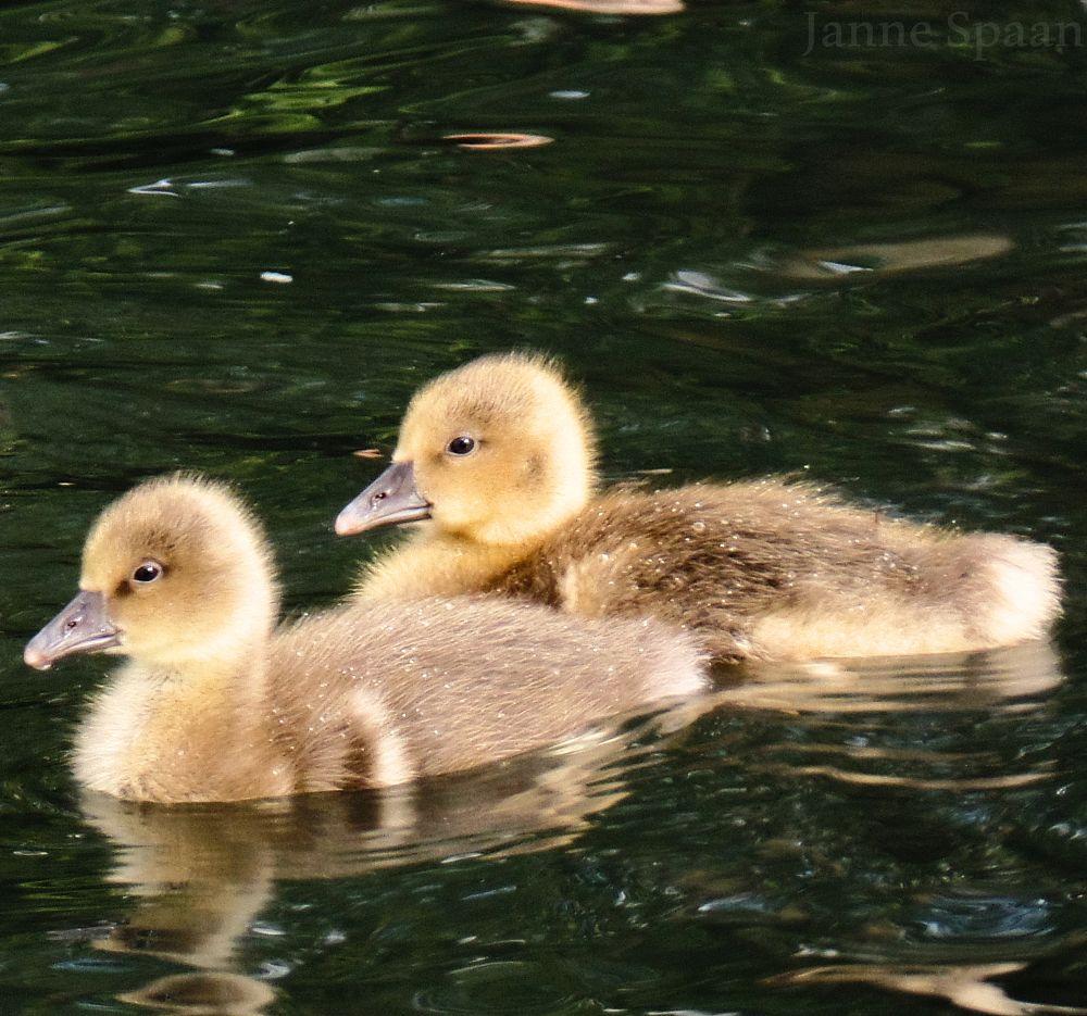 Photo in Animal #ducklings #spring #eendjes #water #springcontest