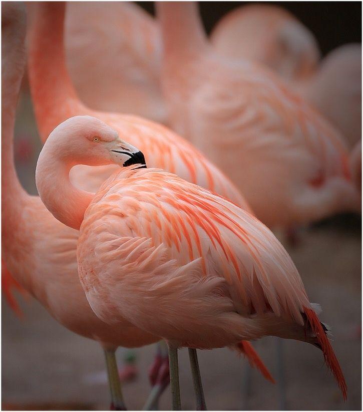 Photo in Animal #flamingo #plumage #feathers #pink #elegant