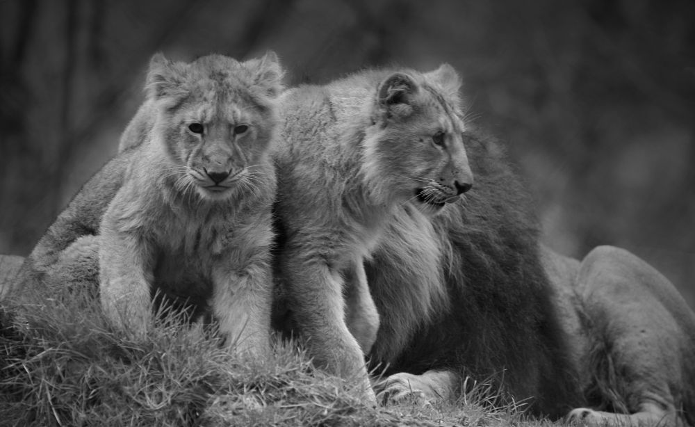 Photo in Animal #lion #cubs #family #big cats #endangered #siblings