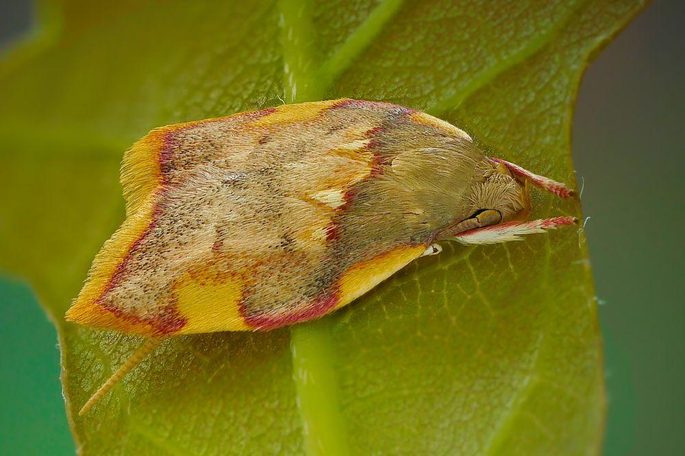 Photo in Macro #moth #macro #oak #micro moth
