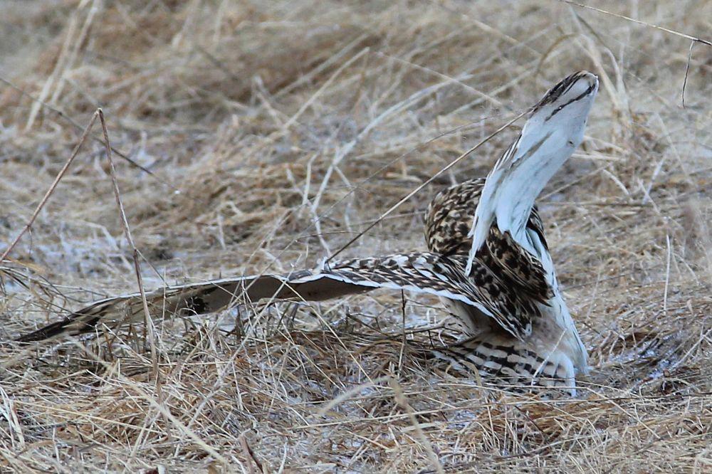 Photo in Animal #owl #uggla #jorduggla #bird #fågel #sweden