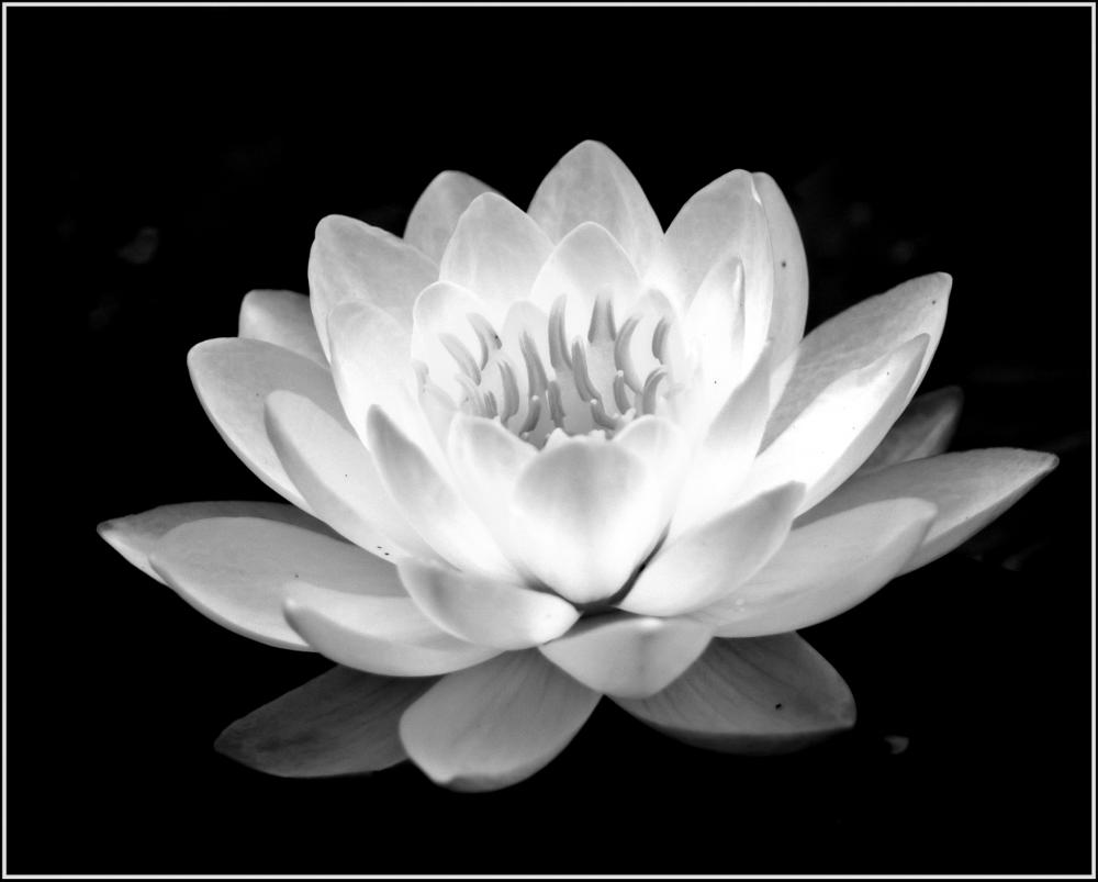Photo in Black and White #water #lily #toronto #brickworks #canada